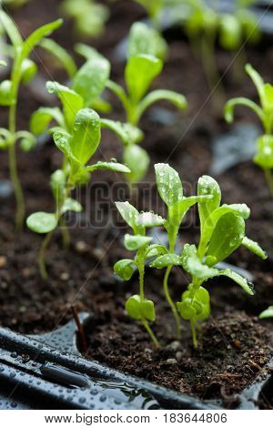 seedling plants growing in germination plastic tray