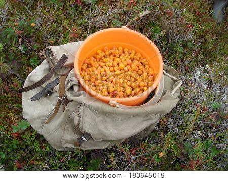 Full bucket of cloudberries in the swamp