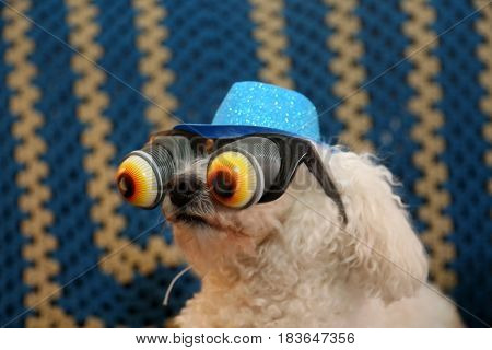 A Bichon Frise wears her Blue Glittery Hat and Googly Eye glasses as a gag or Halloween costume