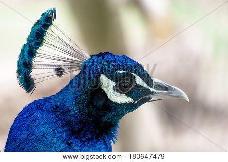 Head of blue peacock with impressive headdress