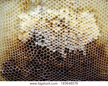 The photo shows beehive honey nectar hive swarm bees honeycomb wax private apiary wildlife animals bee wings beeswax.