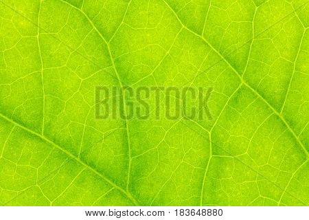 Leaf texture, leaf background for design. Leaf motifs that occurs natural.