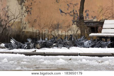 flock of birds pigeons doves pecking in the snow something courtyard bench spring