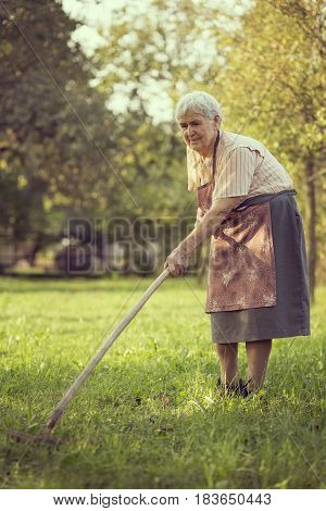 An elderly woman raking the lawn in an orchard on a sunny summer day
