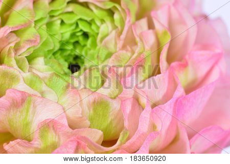 This close up shows a Ranunculus with bright green inner layers, gradually getting a light shade of pink as you reach the outer layers.