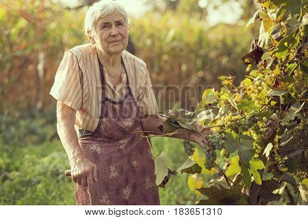 An elderly woman in a vineyard checking the grapes quality for wine production