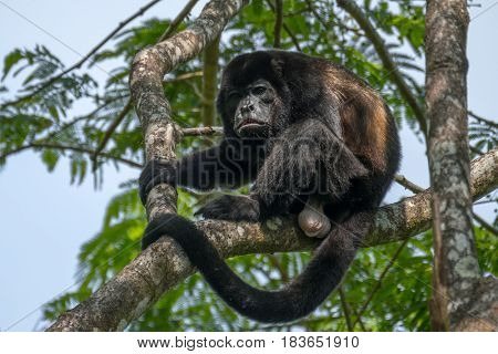 Male of howler monkey sits on the tree'??s branch in the wild forest. Costa Rica
