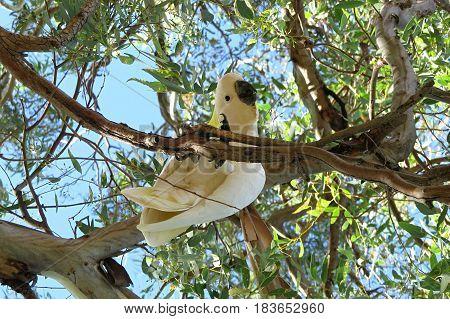 Yellow crested Cockatoo Cocky native Australian bird in gum tree
