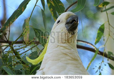 Yellow crested Cockatoo Cocky native Australian bird in tree
