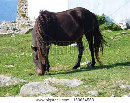 Black pottok pony grazing in Basque country