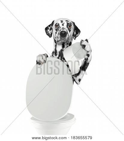 Dalmatian dog pooping into toilet -- isolated on white