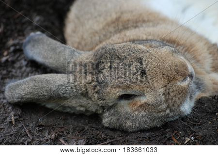 Bunny rabbit resting on his side under some brush.