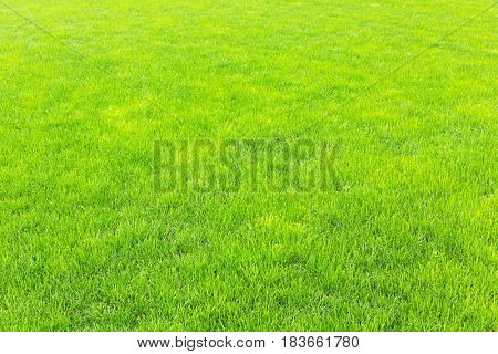 lawn with new green grass after rain
