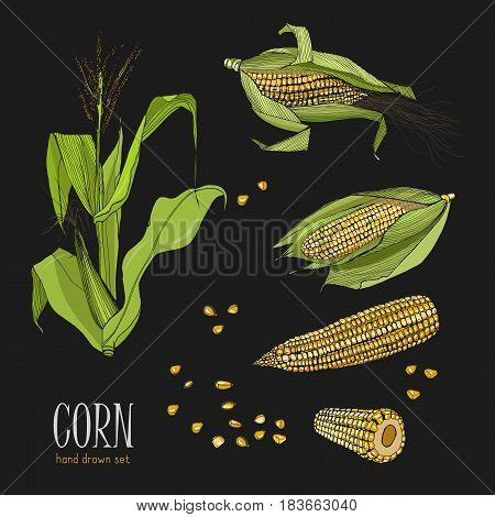 Set of corn plant. Colorful hand drawn collection maize. Vector illustration on black background