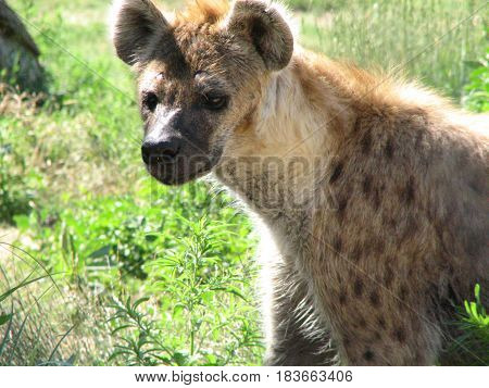 Really adorable face of a spotted hyena in thick green grass.