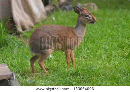 Cute small antelope called a dik dik with a small twig in his open mouth.