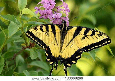 A beautiful yellow and black striped eastern tiger swallowtail butterfly, with wings spread open, sips nectar from purple flowers, on a blurred green background.