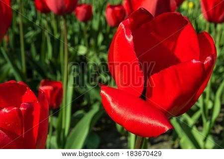Colorful Bright Beautiful Red Tulips Closeup