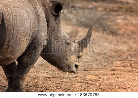 Adult rhinoceros in Kruger National park. The rhino is one of the big 5 animals of South Africa.