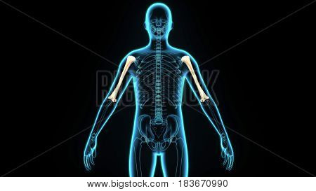 3D illustration of Humerus - Part of Human Skeleton.