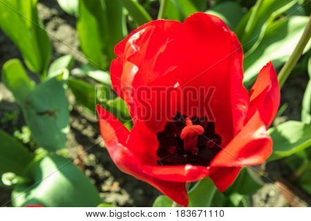 colorful bright beautiful red and dark purple tulips closeup