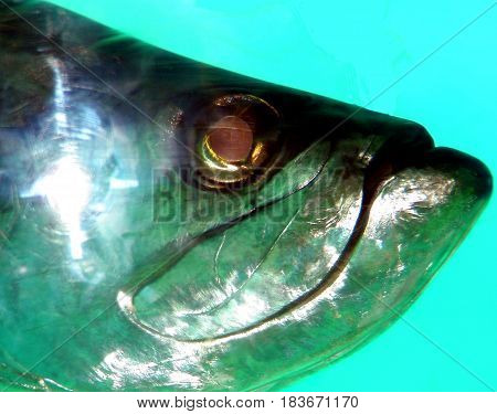 A tarpon fish head while it was swimming