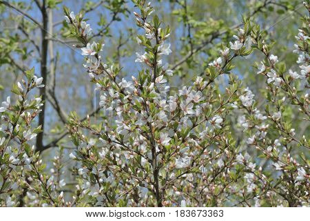 A close up of the blooming branches of a cherry-tree in orchard.