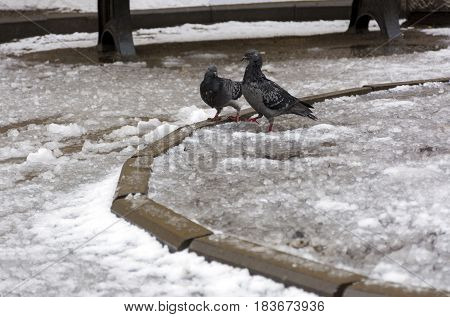 pair of grey doves a male and a female flirting on the melting snow puddles spring