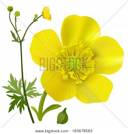 Buttercup - Ranunculus. Hand drawn vector illustration of a wildflower in realistic style, on white background.