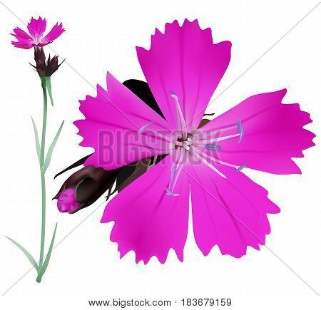 Dianthus Copy
