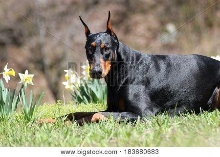 A portrait of The Black Doberman Pinscher dog