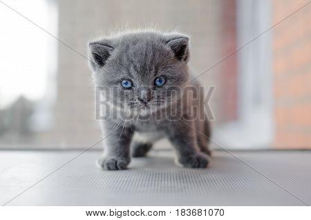 Daring kitten with blue-eyed gaze. Grey kitty British breed. Baby cat on the window.