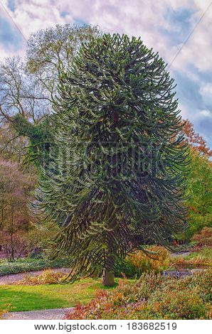 Araucaria grow evergreen trees and belong to the plant family of the conifers.