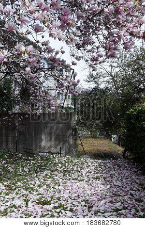 Magnolia petals on the grass in the garden