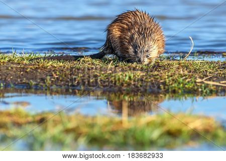 Wet muskrat (Ondatra zibethica) sits in the water near the shore and eats grass in the light of the setting sun