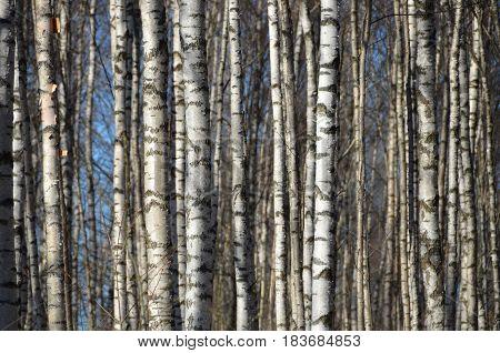 Birches grove near lake in spring. Sunny day.