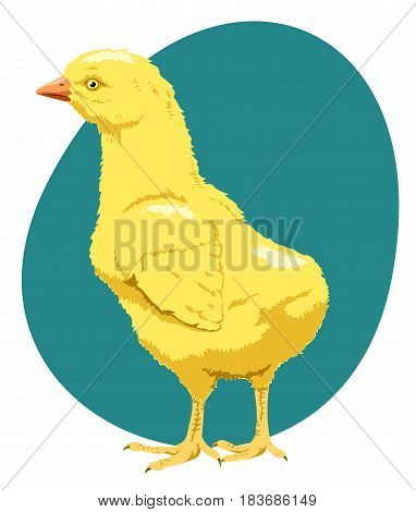 Baby farm animal, a young chicken, little yellow chick