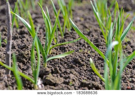 Spring garden plants - garlic onion. bow grows on beds
