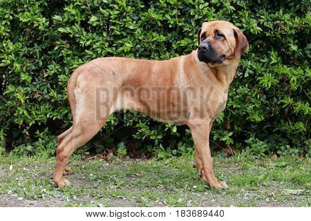 Closeup of a japanese bandog tosa inu in the green. Tosa inu sheperd dog portrait against green natural background