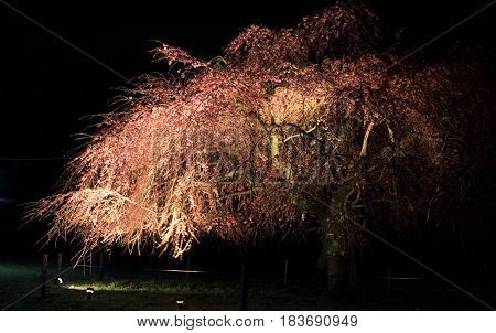 Weeping Cherry Tree In Sakura No Sato, Izu, Shizuoka, Japan (night Scene)