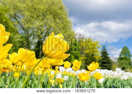 Close-up of beautiful Tulips. View on Blooming Tulips in Spring. Yellow Tulips. Spring Flowers. A Field full of yellow Tulips.