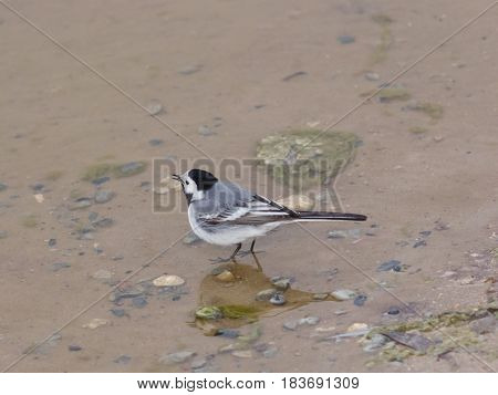 White wagtail Motacilla alba close-up portrait in water selective focus shallow DOF.