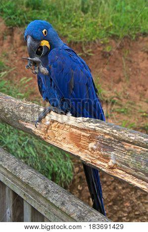 Hyacinth macaw (Anodorhynchus hyacinthinus) or hyacinthine macaw with its beak open.