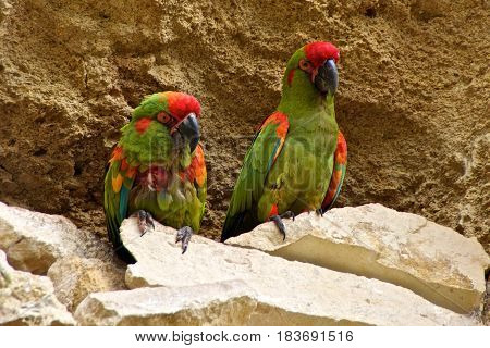 Two red-fronted macaws (ara rubrogenys) sitting side by side.