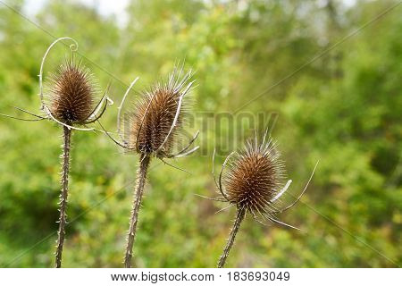 Thistles on a forest path in summer