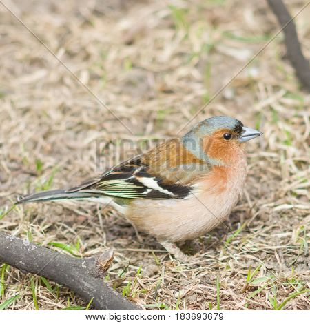Male Common Chaffinch Fringilla coelebs singing close-up portrait in dry grass selective focus shallow DOF.