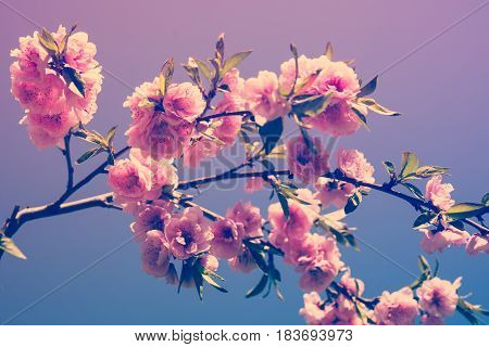 A branch of a blossoming sakura spring tree in a botanical garden. Macro flowers photography, natural floral background.