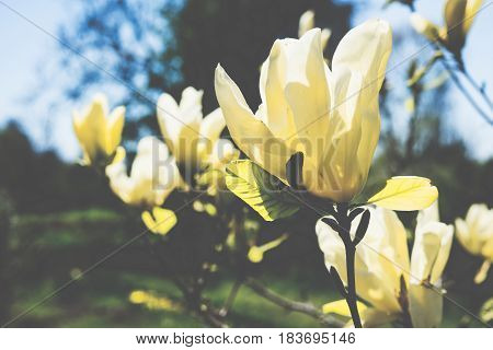 A branch of a blossoming spring magnolia tree in a botanical garden. Macro flowers photography, natural floral background.