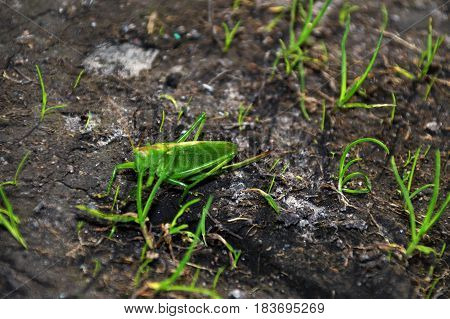 Grasshopper found in the Saremaa island, very green