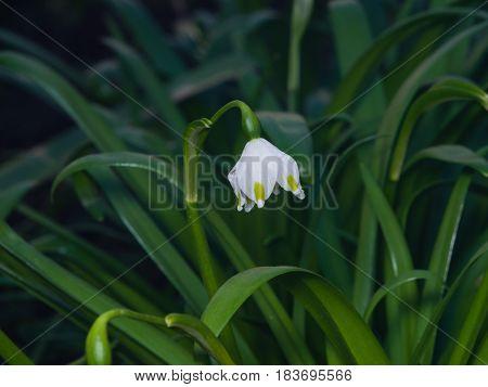 Flower on blooming spring snowflake or leucojum vernum close-up selective focus shallow DOF.